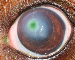 cornea2